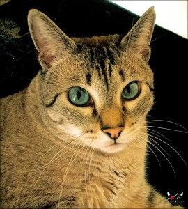 Gato Pirata Rufino